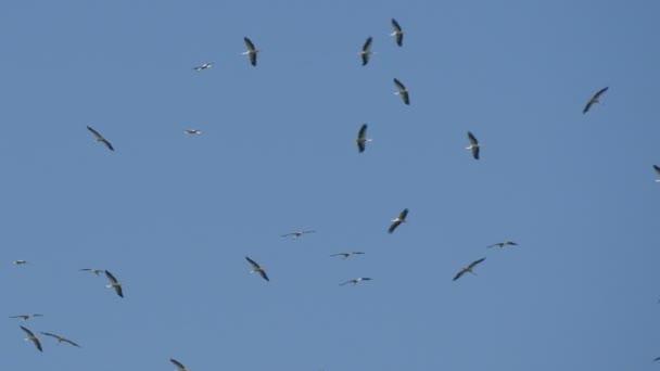 Hejno čápů bílých létání v kruhu na modré obloze v sezóně migrace