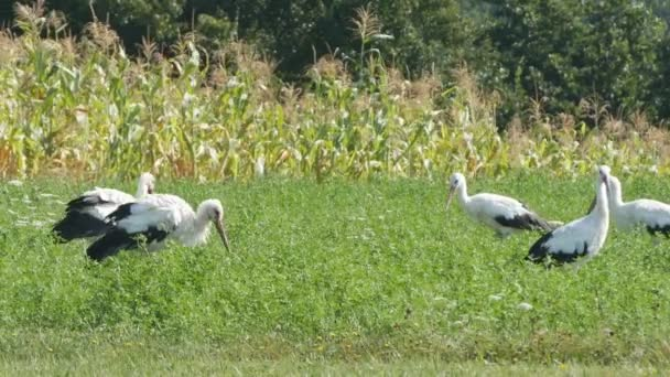 Group of White Storks in a Farm Land Corn Field Feeding with Cereal Remains