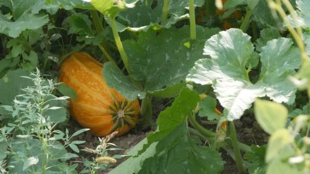 Érett narancssárga sütőtök veteményeskert őszi szezon mezőgazdasági tevékenységet