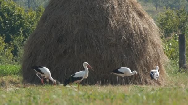 Group of Beautiful White Storks Eating on a Mountain Meadow