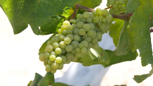Close Up Image with a Bunch of White Grapes in a Vineyard