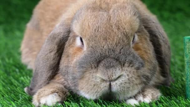 Ein Klappohr-Kaninchen der Rasse Zwergwidder sitzt auf einer Wiese und blickt in die Kamera. das Wort eco wird aus dreidimensionalen Buchstaben auf dem Gras ausgebreitet.