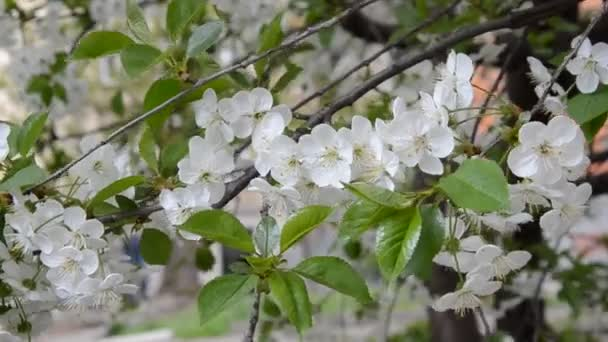 Cherry branches with blooming flowers in spring
