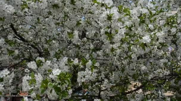 Třešňové větve s kvetoucí květy na jaře