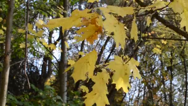 Yellow maple leaves in autumn sunny day