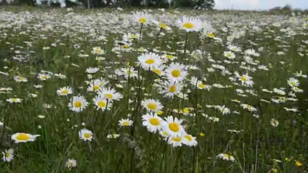 Daisy flowers sway in the wind in a daisy field