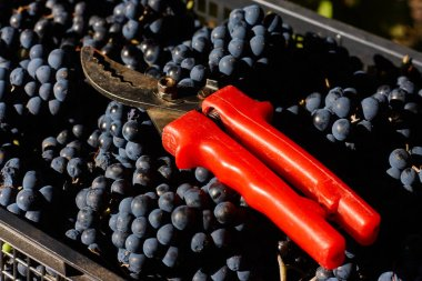 Blue grapes for winemaking. Grapes on branch in vineyard in Italy. Red scissors in the drawer. Harvesting.