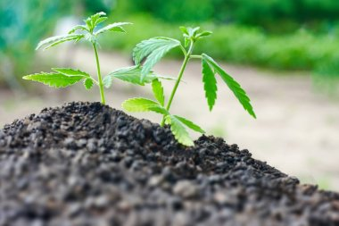 Cannabis seedling close up on background. Growing marijuana from soil for the production essential CBD oil in medicinal preparations