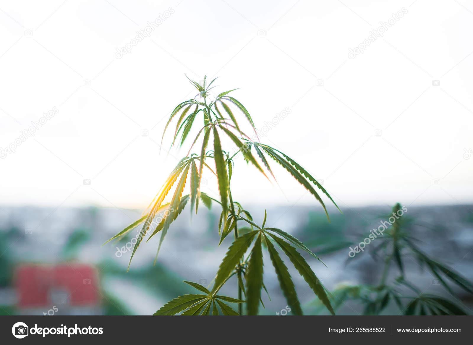 Марихуана в солнечном береге вместо марихуаны