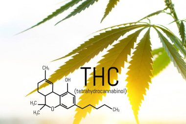 Legalized marijuana with a high level of THC for medical use, en