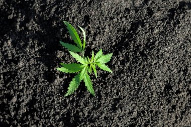 Cannabis seedling, cultivated by hemp farmers to produce differe