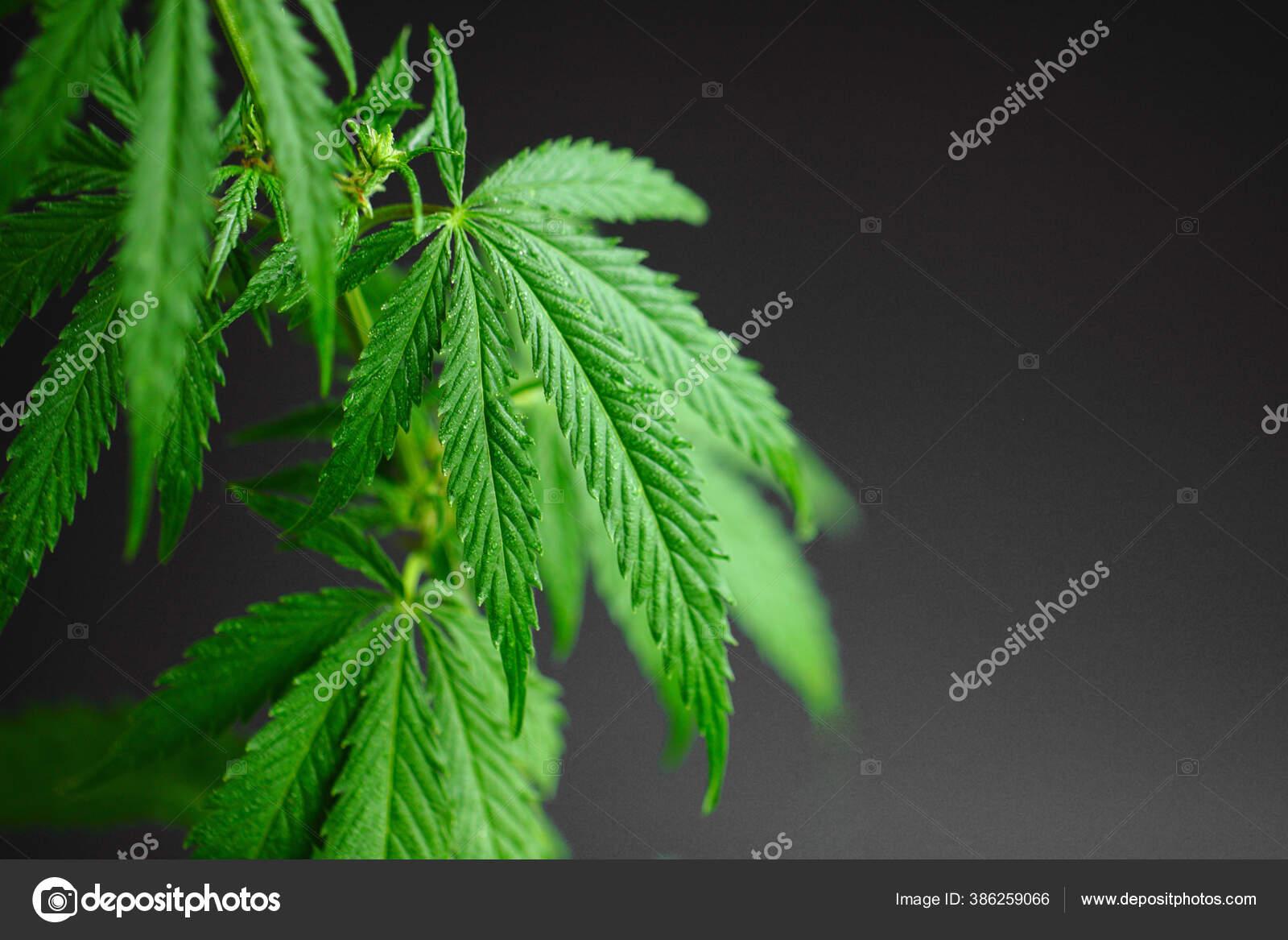 depositphotos 386259066 stock photo marijuana leaves cannabis black background