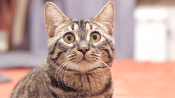 Tabby cat looks into the camera and moves his ears.