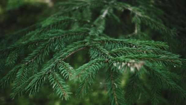 Bright branch of pine needles in summer forest. Fluffy pine tree branch