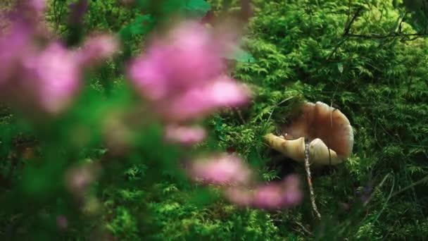 Lišky houby v jasně zelené trávy, lesa. Divoké rostliny