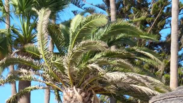 Palm trees branches fluttering in wind. Tropical view