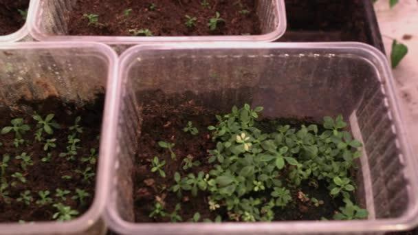 Rostou květiny ze semen. Květinové stromky v plastikových hrncích. Pěstování rostlin