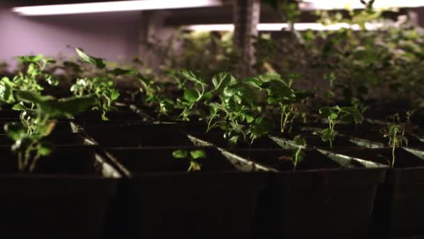 Young seedlings growing in pots set in rows. Plant cultivation in green house