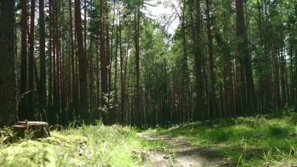 Sluneční svit v zeleném lese. Nádherné počasí v letním lese. Stezka z borového dřeva
