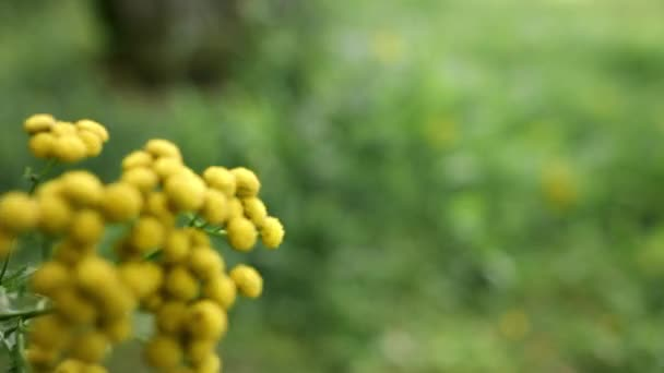 Žluté květy obyčejné tanze. Bylinná rostlina Tanacetum vulgare. Žlutý květ
