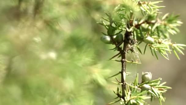 A Boróka zöld ágai éretlen gyümölcsökkel. Éretlen kúp bogyósok Juniperus