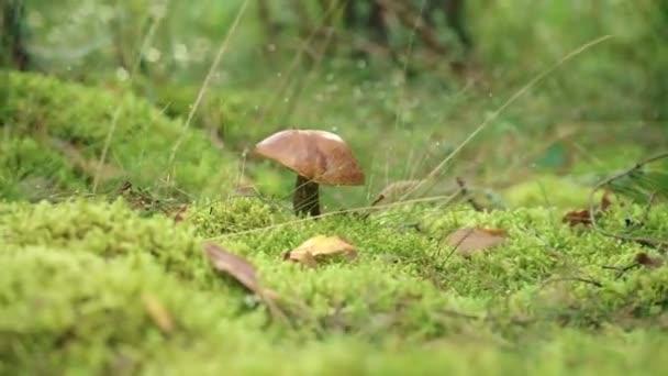 Hřib oranžový s velkým víčkem rostoucími v zelené trávě v lese zblízka