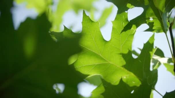 Listí z dubů. Zelený krásný stromový listí. Mladé listí na větvi