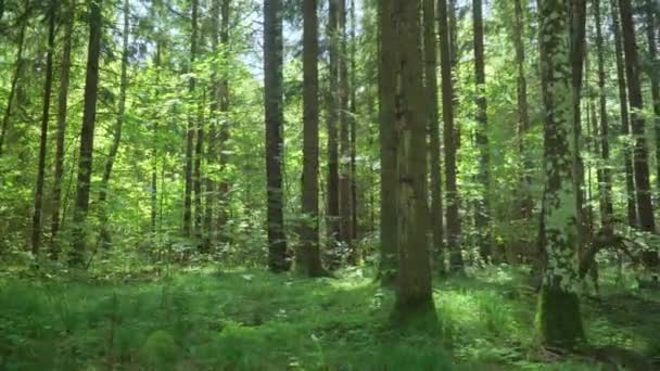 Zelené směsné jehličnaté a opadavé dřevo. Lesní krajina v letním dnu