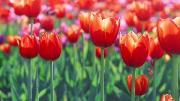 Gyönyörű tulipán mező virágzó a kertben. Közelről színes tulipánt virágágya