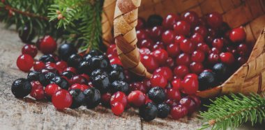 Fresh cranberries and chokeberries poured out of a wicker basket on an old wooden background with fir branches
