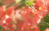 Fantastic spring or summer natural pink background with blooming Japanese quince, place for text, blurred image, soft focus.