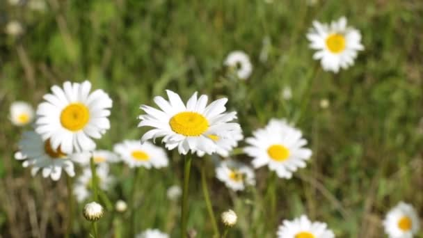 Daisies on the field, daisy flowers on a green meadow.
