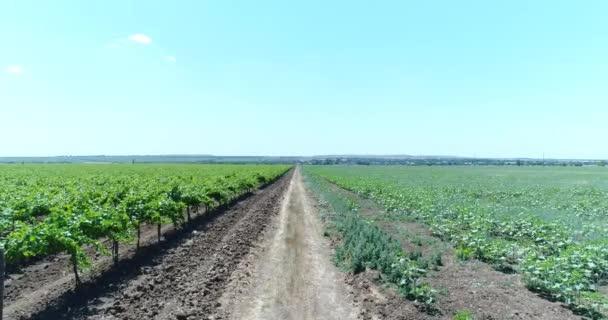 Krásné vinice, vinařství. Letecká fotografie - hroznová plantáže.