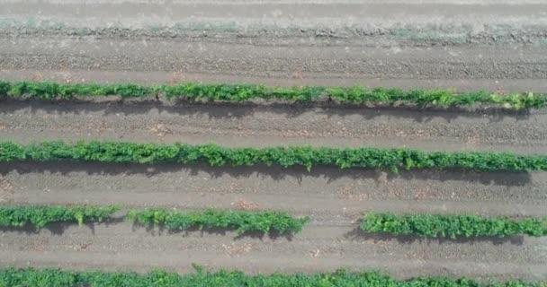 Green vineyards, growing grapes. Aerial video, plantations of grapes.