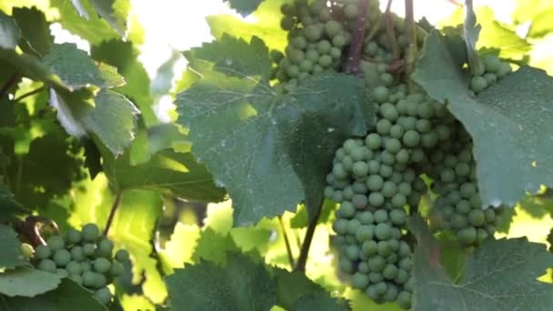Young grapes and sunrays. Growing grapes, winemaking.