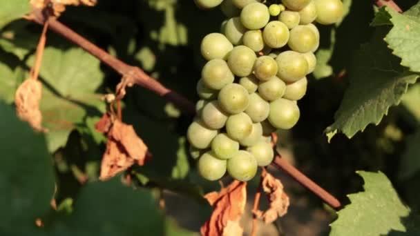 Mladé zelené hrozny, vinice.