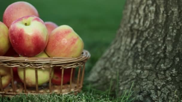 Apples in a basket on the grass near the tree.