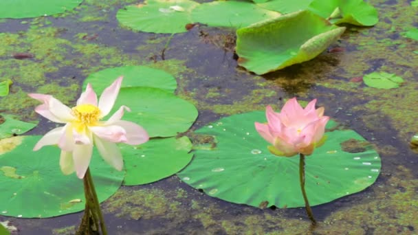 Water lilies. Pink lotuses and green water lilies.
