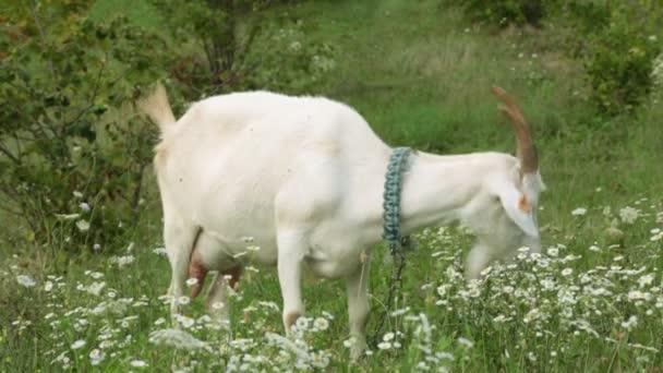 Koza v poli je jíst trávu. Farma, dobytka, koz
