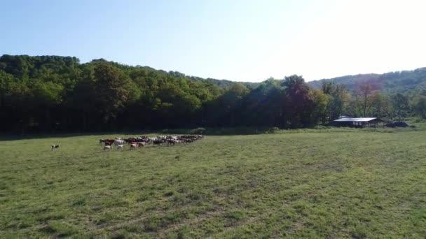 Veduta aerea, mucche al pascolo nel campo. Azienda agricola e del bestiame