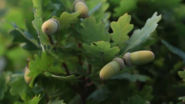 Acorns on an oak tree.