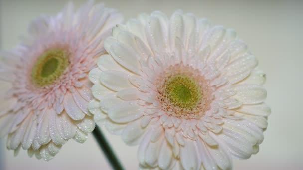 Beautiful flower gerbera, close-up.