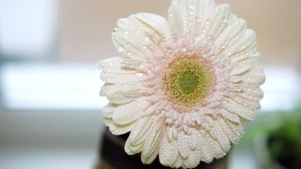 Beautiful pink flower gerbera, close-up.