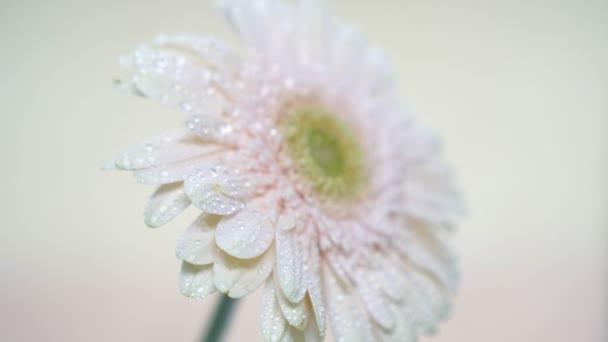 Delicate pink gerbera flower.