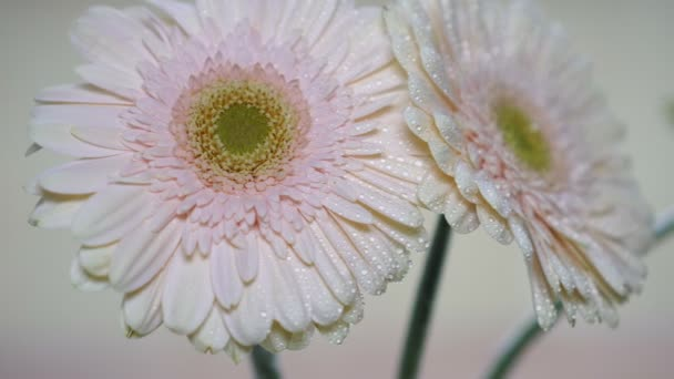 Pink gerbera flowers and water drops on the petals.