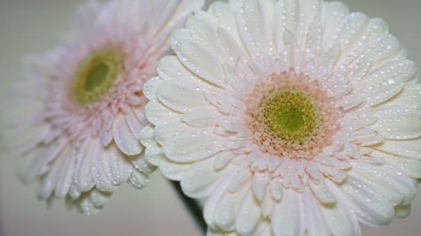 Pink flowers of gerbera and drops of water on the petals, close-up.