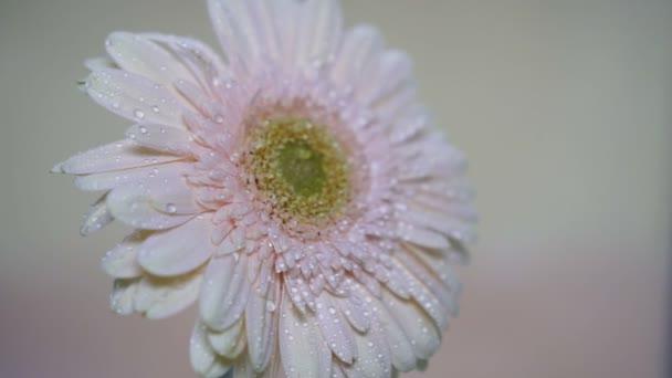 Postřik květ gerbera, pomalý pohyb.