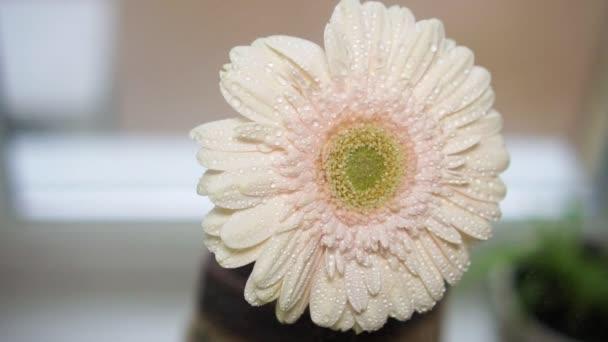 Slow motion, gerbera flower spraying.