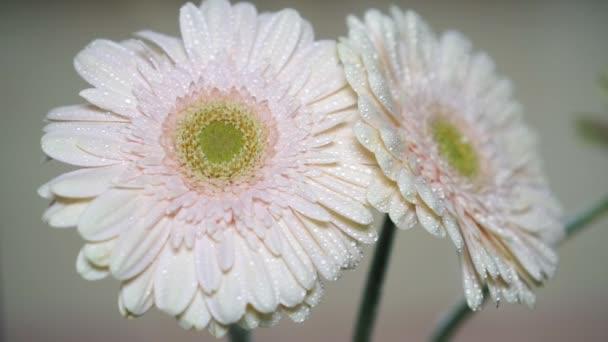 Zpomalený pohyb, postřik květ gerbery, detail.