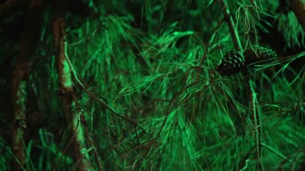 Krásné zelené větve jehličnatého stromu.